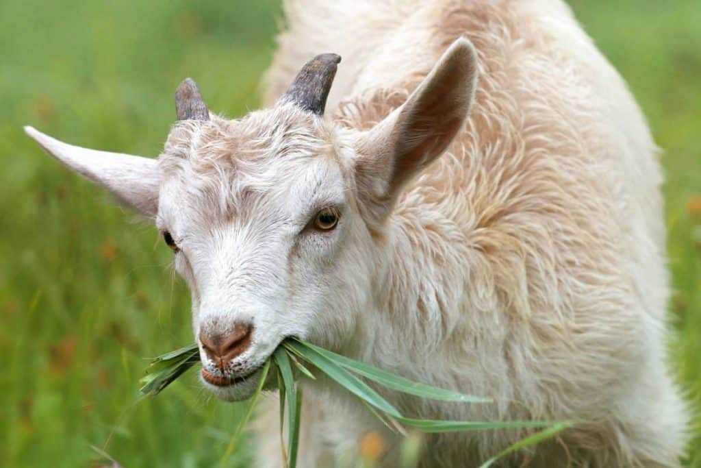 goats milk for babies with eczema
